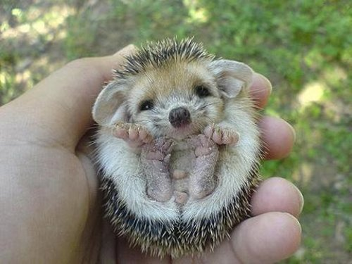 Figure 1: Seriously? You expect me to do research while the internet has baby hedgehogs?