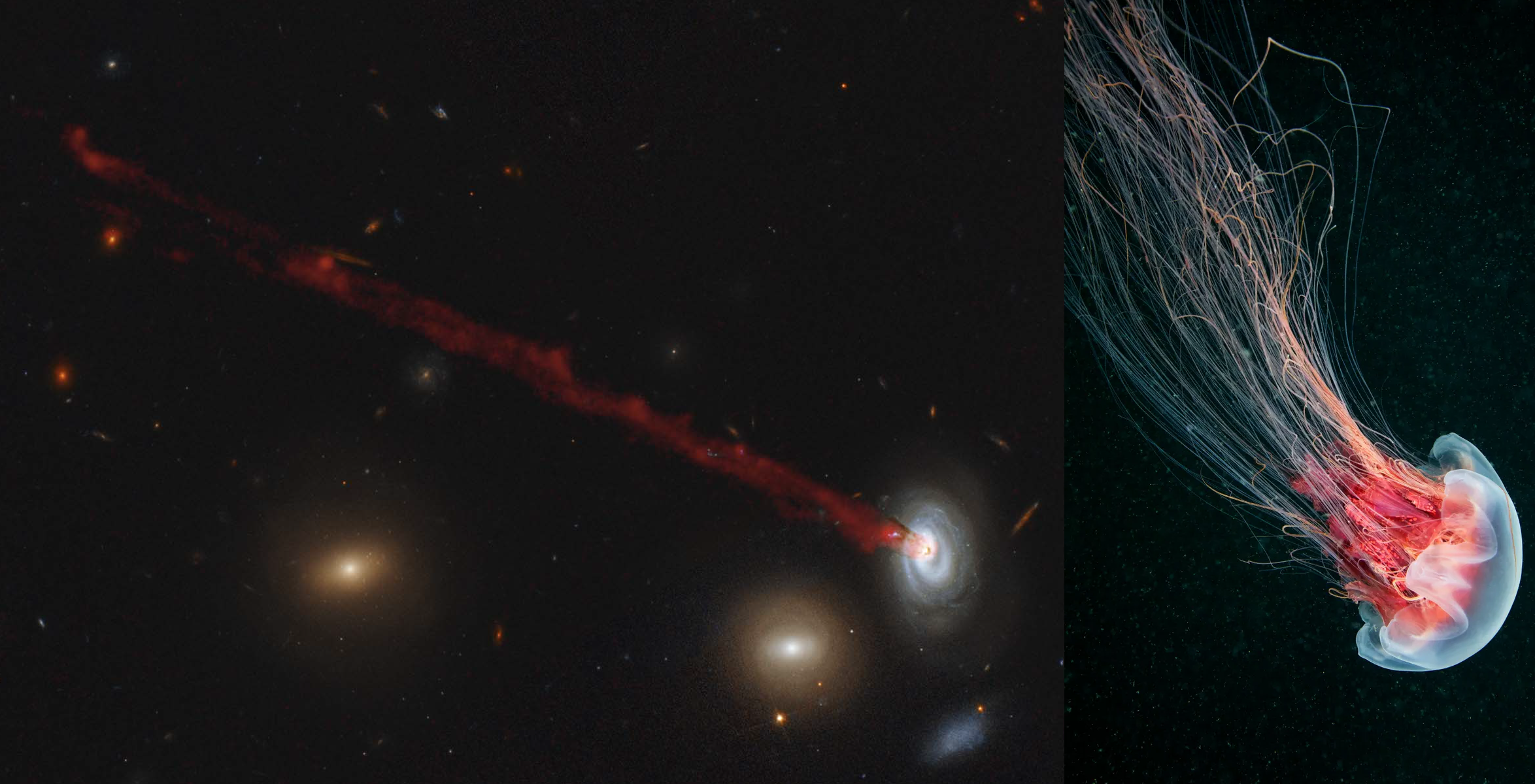 Left panel shows a photograph of a blue spiral galaxy in the bottom-right of the image, with a long, thin, red tail of gas streaming behind it, towards the top-left. The width of the tail is about half the diameter of the galaxy, and its length is about ten times the size of the galaxy. Many other galaxies can be seen in the image, three of a similar size to the spiral galaxy, but mostly far smaller and fainter. Right panel shows a jellyfish, with a blue bell (head) and long, red tentacles. The jellyfish is oriented the same way as the galaxy, to show the similar shapes of the two.